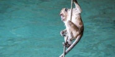 Affe klettert an einem Seil knapp oberhalb der Wasseroberfläche