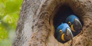 Unsere neuen Räume in der Poststraße, zwei freundliche Hyazinth-Aras schauen aus ihrer Baumhöhle